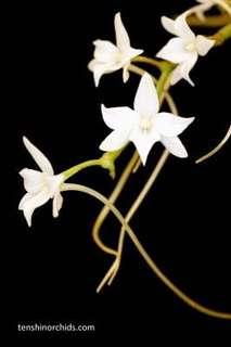Aerangis articulata (orchid species)