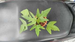 Young papaya