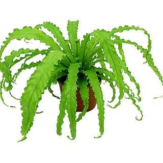 Victoria fern(large)35cm
