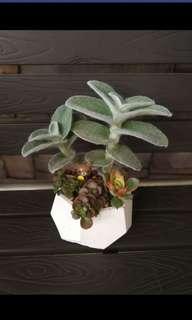 Potted Succulents Arrangement 1