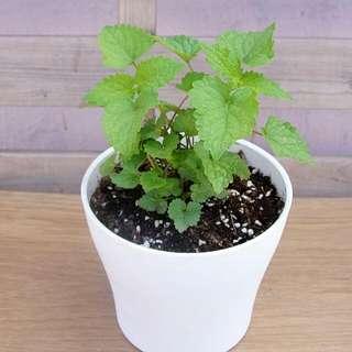 絕對少見 藿香 草藥盆栽 (Patchouli)  Herb Plant With Pot 觀賞/食用 連盆 23cm(H) 香草植物 薄荷味