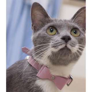 🚚 寵物 貓 狗 紳士、淑女鑲鑽蝴蝶結項圈
