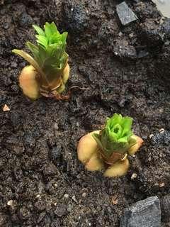 Japanese Tulips rare!