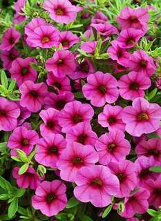 Million Bells Hanging Plant (Calibrachoa)