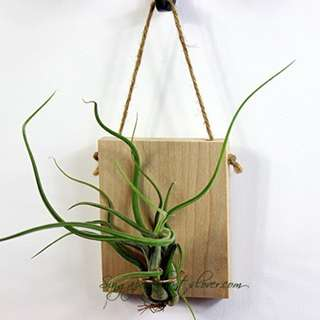 Home Decor Wall Hanging Air plant Wood Plaque