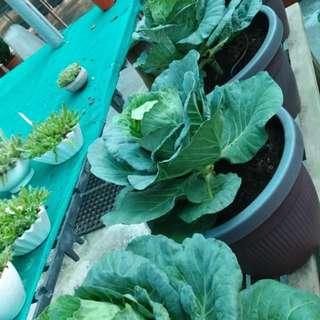 CABBAGE Plants (8 Pots) - Seasonal