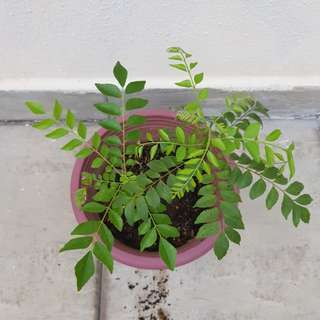 Curry leave plants