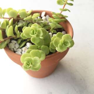 Succulent Sedum Stonecrop In Stock Now