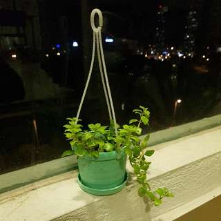 Hanging Green Plant
