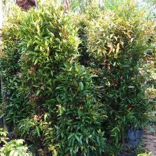 EUGENIA Plants (5 Bags)