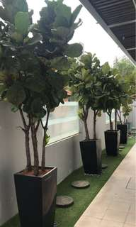Potted Ficus (Potted plant)