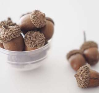 Dried Acorns in all Shapes & Design