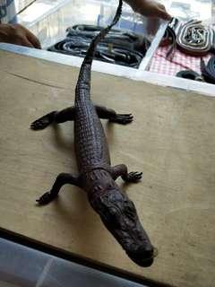 Baby crocodile taxidermy
