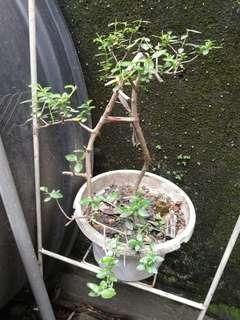 bonsai bebuas