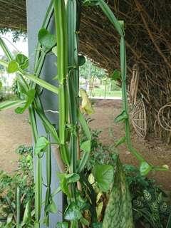 Pokok Rawat Buasir (Pokok Tulang)