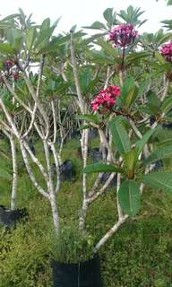 2.2m tall red frangipani