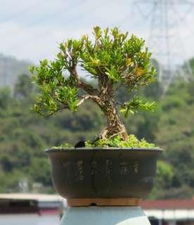 黃楊 盆景 盆栽 28cm高