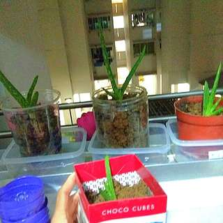 Aloe vera plant in recycled containers