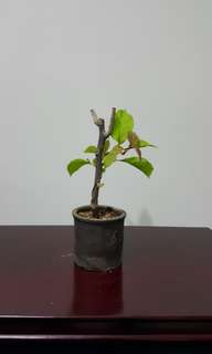 Mini Bougainvillea Bonsai Plant