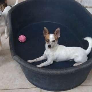 Dijual cepet puppy chihuahua stambum karena mau pindah kota