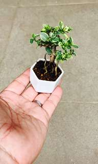 Mame Variegated Premna Bonsai (Small)