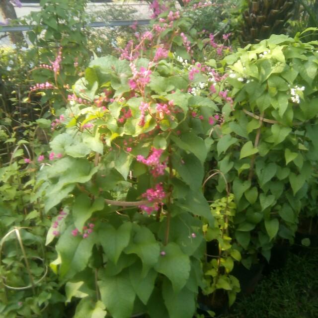 Bunga Air Mata Pengantin Gardening On Carousell