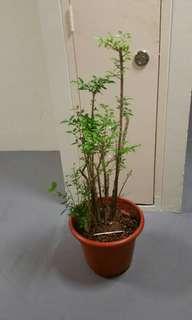 Plant Wrightia Religiousia