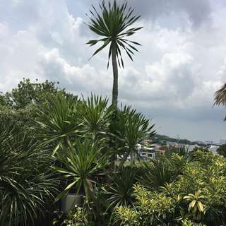 Tall potted plants ($20 per potted plant)