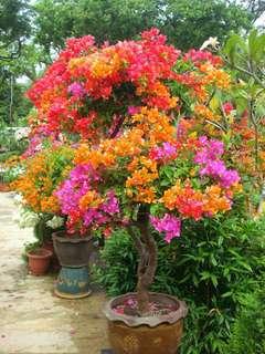 Gardening ♡ Bougainvillea Spectabilis Seeds X 20