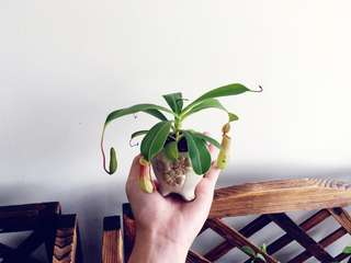 Indoor Mini Pitcher plant