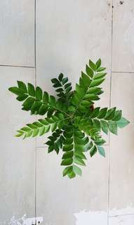 Curry leaves Plant
