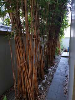 Bamboo tree removal.