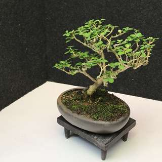 Mini Premna Obtusifolia Bonsai