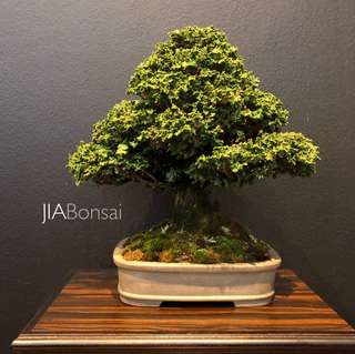 Rare Japanese Sekka Hinoki Bonsai - Reserved