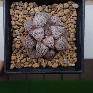 "Haworthia Picta ""Pink Lady"""