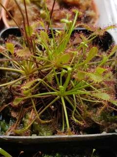 Drosera intermedia seeds