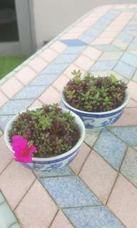 Pic UD'Chawan Hana'  Portulacapilosa'Mini'@ Mini Japanese rose