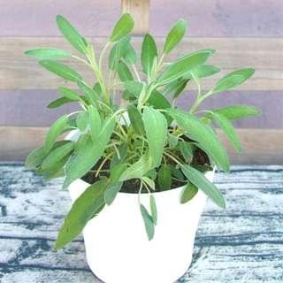 有機鼠尾草 食用香草 盆栽 25cm(H) Organic Sage Medical/Culinary Herb Plant With Pot 香味濃 連盆