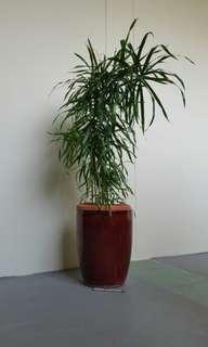 Plant Dracaena