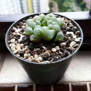 Jade Lotus Haworthia