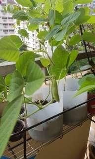 Edamame plant