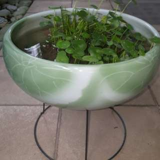 Fish pond / porcelain pot / flower pot with chinese money plant