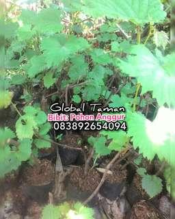 Bibit pohon anggur hijau / bibit tanaman anggur hijau / Tanaman rambat
