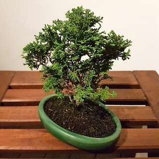 Hinoki Bonsai