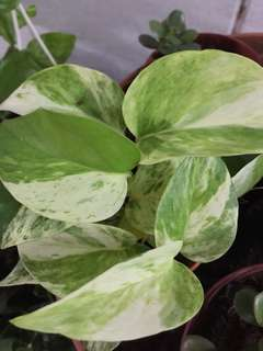 Variegated money plant