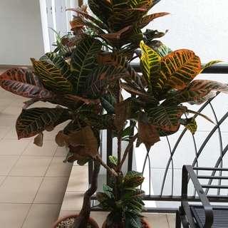 Croton Pot Plant