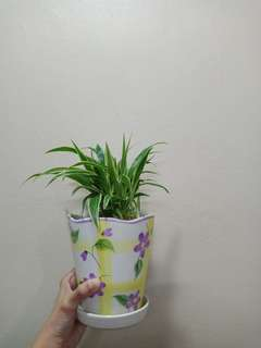 Ophiopogon/Monkey grass 麦冬