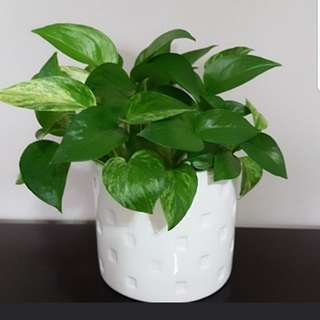 Money Plant in White Pot