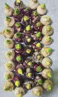 Hyacinth Bulbs from Amsterdam (Netherlands / Holland)
