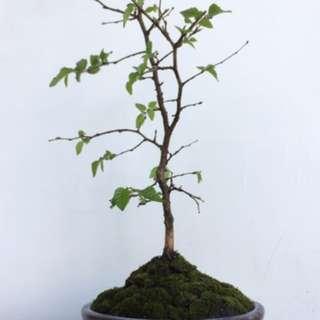 🚚 一樹一風景/鵝耳櫪/櫸